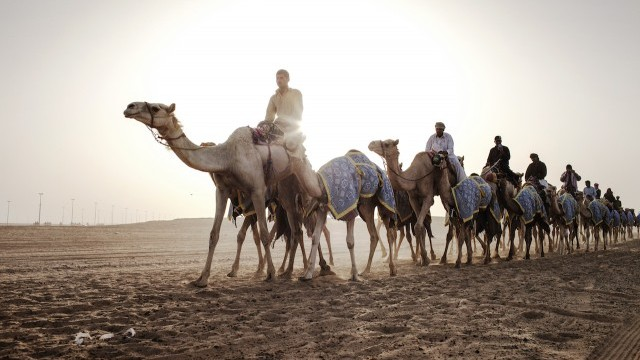 Camels in the desert Courtesy of Dubai Arts and Culture Authority